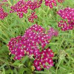 Achillea millefolium 'Sammetriese' - Duizendblad - Achillea millefolium 'Sammetriese'