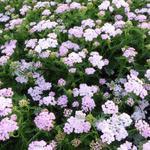 Achillea millefolium 'Wonderful Wampee' - Duizendblad - Achillea millefolium 'Wonderful Wampee'
