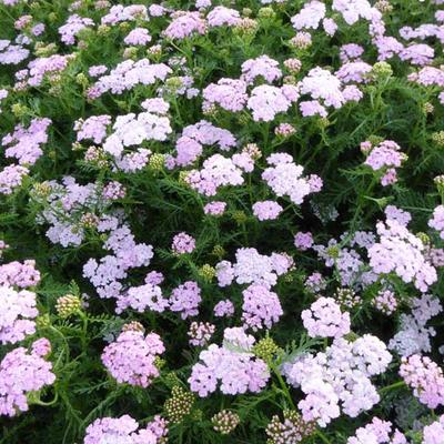 Achillea millefolium 'Wonderful Wampee' -