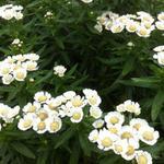 Achillea ptarmica 'Nana Compacta' - Duizendknoop - Achillea ptarmica 'Nana Compacta'