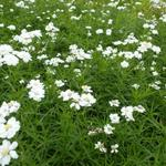Achillea ptarmica 'Weihenstephan' - Achillea ptarmica 'Weihenstephan' - Duizendknoop