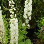 Actaea racemosa - Christoffelkruid, Zilverkaars - Actaea racemosa