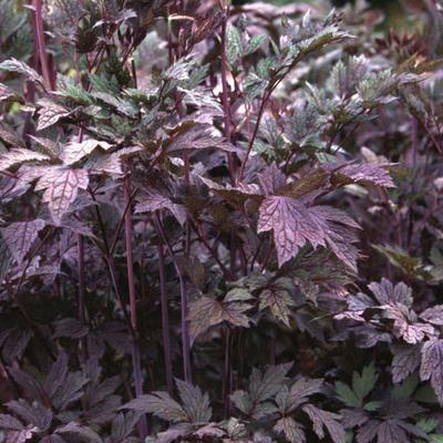 Actaea simplex 'Atropurpurea' - Christoffelkruid - Actaea simplex 'Atropurpurea'