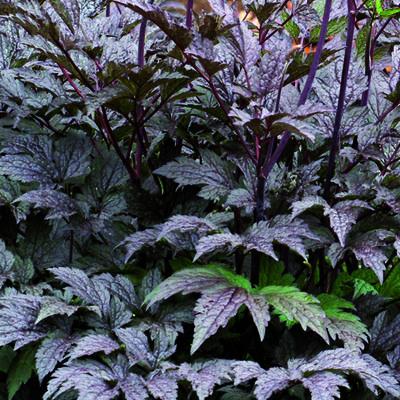 Actaea simplex 'Black Negligee' -