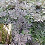 Zilverkaars - Actaea simplex 'Brunette'