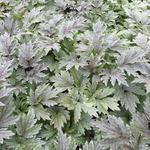 Actaea simplex 'Chocoholic' - Actaea simplex 'Chocoholic' - Christoffelkruid