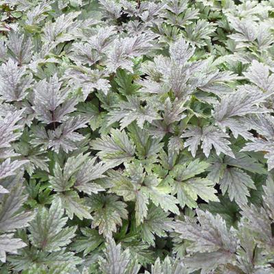 Actaea simplex 'Chocoholic' -