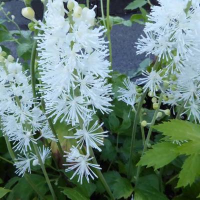 Actaea simplex 'White Pearl' -