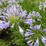 Agapanthus  'Blue Triumphator' - Agapanthus  'Blue Triumphator' - Afrikaanse lelie