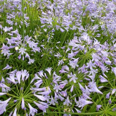 Agapanthus 'Dr Brouwer'  -