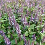Agastache rugosa 'After Eight' - Dropplant