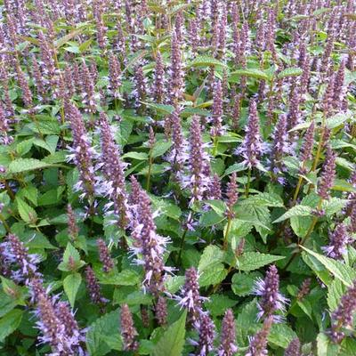 Agastache rugosa 'After Eight' - Dropplant - Agastache rugosa 'After Eight'