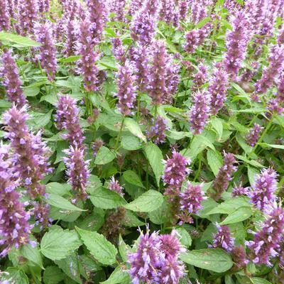 Agastache rugosa 'Beelicious Purple' - Dropplant - Agastache rugosa 'Beelicious Purple'