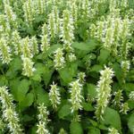 Agastache rugosa f. albiflora 'Alabaster' - Anijsplant / Dropplant - Agastache rugosa f. albiflora 'Alabaster'