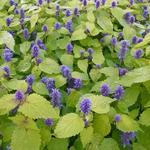 Anijsplant/Dropplant - Agastache rugosa 'Golden Jubilee'