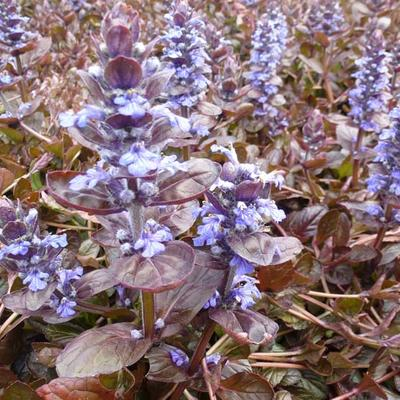Ajuga reptans 'Evening Glow'  -