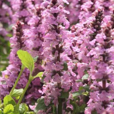 Ajuga reptans 'Purple Torch'  -