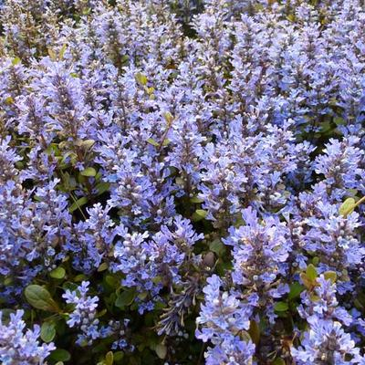 Ajuga reptans 'Chocolate Chip' -