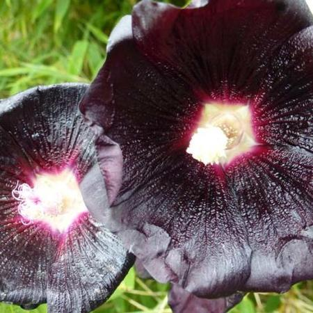 Alcea rosea SPOTLIGHT 'Blacknight'