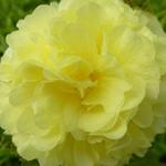 Alcea rosea 'Chater's Double Yellow' - Stokroos - Alcea rosea 'Chater's Double Yellow'