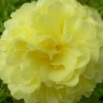 Alcea rosea 'Chater's Double Yellow' -