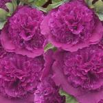 Alcea rosea 'Chater's Double Purple' - Stokroos - Alcea rosea 'Chater's Double Purple'