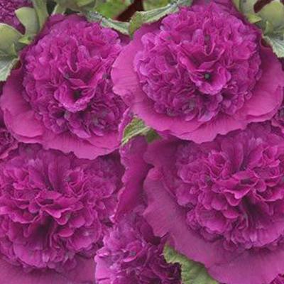 Alcea rosea 'Chater's Double Purple' - Stokroos - Alcea rosea 'Chater's Double Purple'