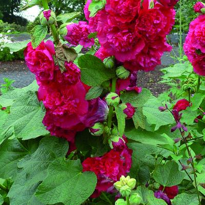 Alcea rosea 'Chater's Double Red' - Stokroos - Alcea rosea 'Chater's Double Red'