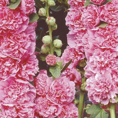 Alcea rosea 'Chater's Double Pink' - Stokroos - Alcea rosea 'Chater's Double Pink'