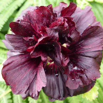 Alcea rosea 'Chater's Double Violet' -