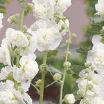 Alcea rosea 'Chater's Double White' - Stokroos