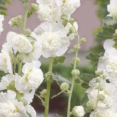 Alcea rosea 'Chater's Double White' -