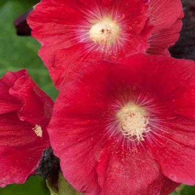 Alcea rosea Spotlight 'Mars Magic' -