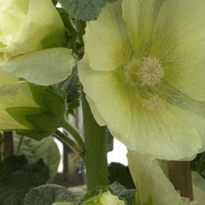 Alcea rosea Spotlight 'Sunshine' -