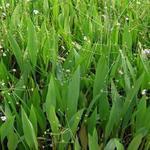 Alisma lanceolatum - Slanke waterweegbree - Alisma lanceolatum