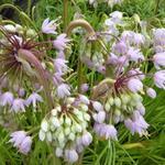 Allium cernuum 'Hidcote' - Amerikaanse look - Allium cernuum 'Hidcote'