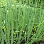 Allium fistulosum - Grof bieslook - Allium fistulosum