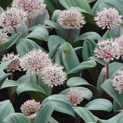 Allium karataviense - Sierui - puinlook - Allium karataviense