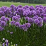 Allium 'Millennium' - Sierui - Allium 'Millennium'