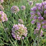 Allium senescens - Sierui - Allium senescens