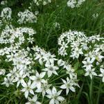 Chinese bieslook - Allium tuberosum