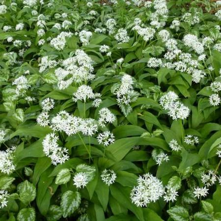 Daslook - Allium ursinum | Vaste planten | Planten online kopen | Tuinadvies