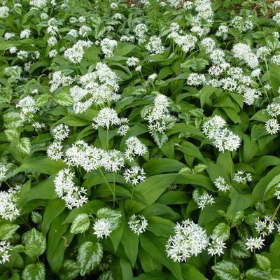 Allium ursinum - Daslook - Allium ursinum