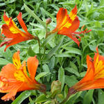 Alstroemeria aurea 'Orange King' - Alstroemeria aurea 'Orange King' - Incalelie