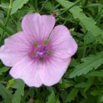 Althaea cannabina - Althaea cannabina - Stokroos (Hennepbladstokroos)