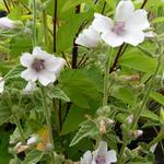 Heemst - Althaea officinalis