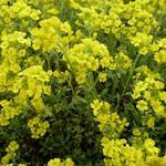 Schildzaad - Alyssum montanum 'Berggold'