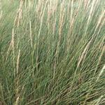 Wild helmgras - Ammophila arenaria