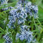 Amsonia 'Ernst Pagels' - Amsonia 'Ernst Pagels' - Blauwe ster, Stermaagdenpalm