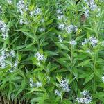 Amsonia illustris - Stermaagdenpalm - Amsonia illustris